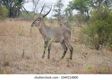 Waterbucks in grass at Kruger National Park in South Africa