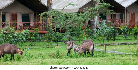 Waterbucks at a safari camp at Lake Naivasha, Kenya