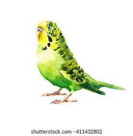 Watercolor Bird Green Budgerigar Parakeet Hand Drawn Summer Tropical Illustration isolated on white background