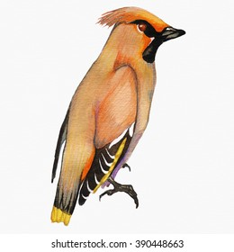 Watercolor bird.Invitation card with bright watercolor bird. Watercolor waxwing. Cedar waxwing bird. Watercolor painted bird