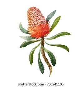 Watercolor Botanical illustration of a banksia flower on a white background, Australian flower. Banksia menziesii