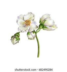 Watercolor Botanical illustration. Flowers and buds of Philadelphus coronarius. Can be used to create wedding invitations and prints of fabric.