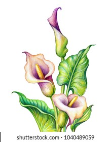 watercolor botanical illustration, pink calla lillies, cala lily flowers, tropical clip art isolated on white background