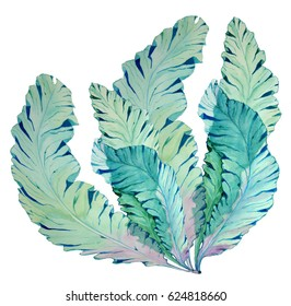 Watercolor Botanical illustration of seaweed on isolated background. Botanical illustration kelp.