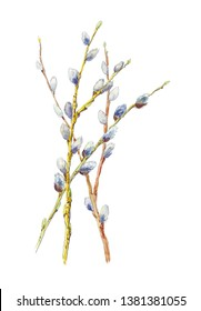 Watercolor botanical illustration of  spring branches  Pussy-willow, Catkins Willow. Hand-drawn spring light painting