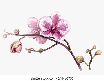 Watercolor branch of orchid flower isolated on white.