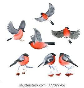 Watercolor bullfinch winter birds isolated on white