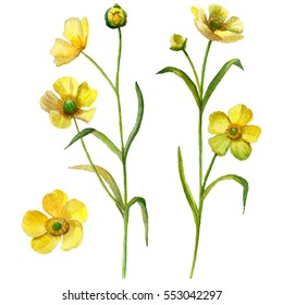 Watercolor buttercup flower set isolated on white background, hand drawn floral illustration.