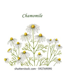 Watercolor chamomile card of flowers and leaves on a white background. Illustration for design of health care products, natural cosmetics, homeopathy, herbal tea.