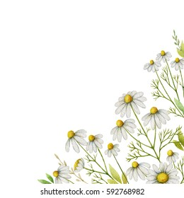 Watercolor chamomile square card of flowers and leaves on a white background. Illustration for design of health care products, natural cosmetics, homeopathy, herbal tea .