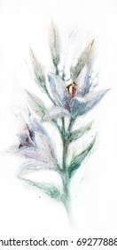 Watercolor drawing of a lily flower on a white background
