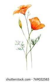 Watercolor floral Botanical illustration, Eschscholzia californica orange  poppy flower , greeting card