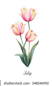Watercolor floral botanical illustration. pink-yellow tulip on a white background. isolated object. Spring greeting card