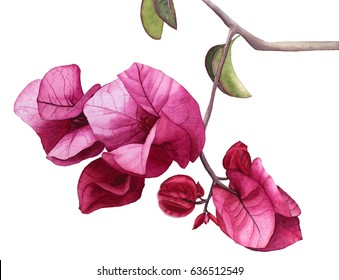 Watercolor flowers Pink Bougainvillea. Hand drawn illustration.