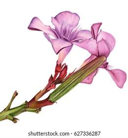 Watercolor flowers Pink Oleander. Hand drawn illustration.