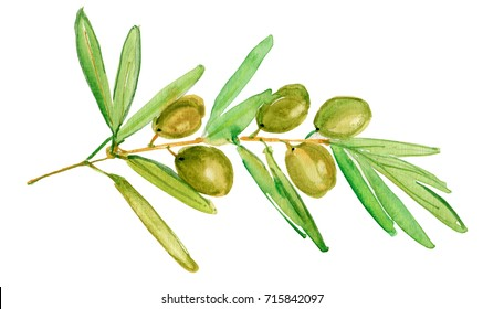 Watercolor green olive branch. Watercolor green olive branch on white background . Hand drawn isolated natural vector object with place for text. Healthy and natural card design