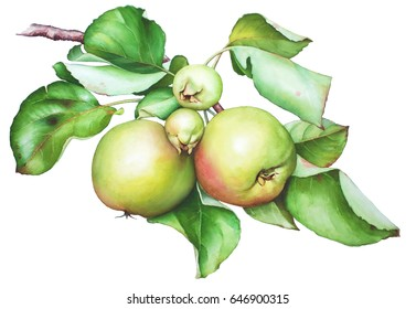 Watercolor hand drawn apple tree branch with apples and leaves isolated on white background