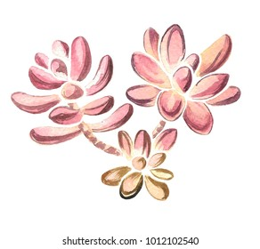 Watercolor hand drawn illustration of succulent isolated on a white background.