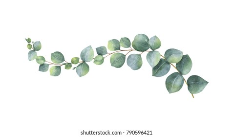Watercolor hand painted green eucalyptus branch. Floral illustration isolated on white background.