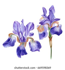Watercolor hand painted iris flower. Can be used as romantic background for web pages, wedding invitations, greeting cards, postcards, textile design, package design, wallpapers, patterns, prints.