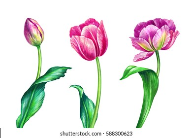 watercolor illustration, botanical art, fresh spring tulips, floral design elements, beautiful wild flowers, festive greeting card, 8 March, Easter, Mother's day, clip art isolated on white