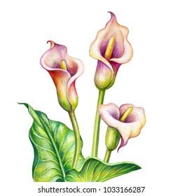 watercolor illustration, calla lillies, tropical flowers, cala l
