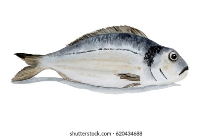 watercolor illustration of fish on white
