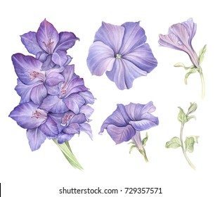Watercolor illustration flower set in white background. Gladiolus and petunia. Design elements.