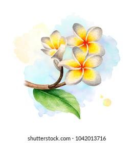 Watercolor illustration of frangipani flowers