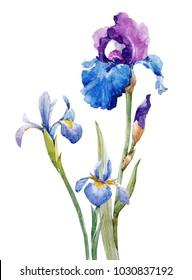 Watercolor illustration of iris flowers, drawing set