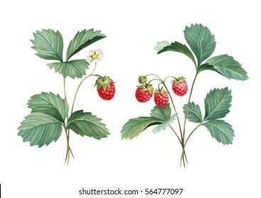 Watercolor illustration of strawberry bush