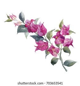 Watercolor illustration of a tropical  bougainvillea flower, a branch with  purple flowers and leaves