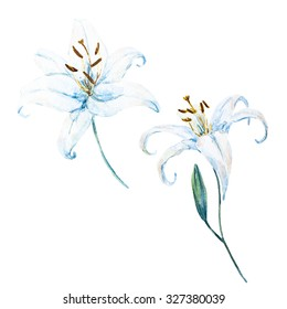 watercolor illustration of a white  lily, botanical painting, beautiful light lily