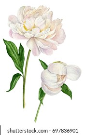 Watercolor illustration of a white peonies with leaves. Set of floral elements isolated on white background