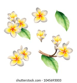 Watercolor illustrations of frangipani flowers