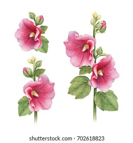 Watercolor illustrations of mallow flowers