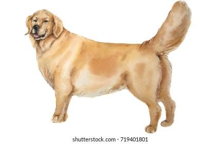 Watercolor labrador
