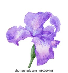Watercolor lilac iris with green leaves on white background.