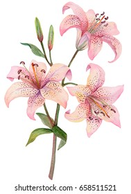 Watercolor lilies isolated on white background, hand drawn illustration of flowers, can be used for invitation and greeting cards.