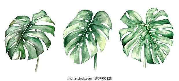 Aquarellmonstera tropische Blätter Set-Illustration einzeln