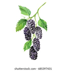 Watercolor Mulberry. Hand Drawn Illustration Organic Food Vegetarian Ingredient