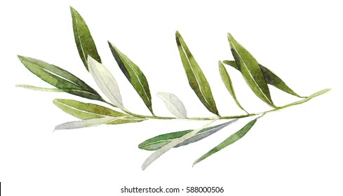 Watercolor olive branch on white background. Hand drawn watercolor illustration, painting the olive tree. (updated quality and better colors)