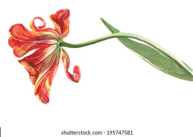 Watercolor on white background: red-orange-yellow tulip fading