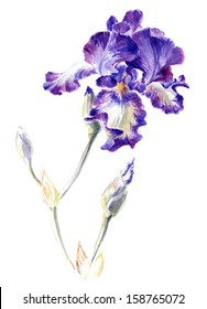 "Watercolor on white iris cultivar ""Stepping Out"""