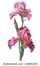Watercolor on white: Iris cultivar Crispette