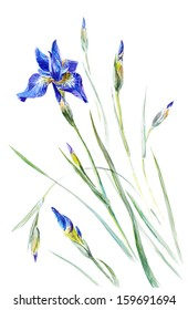 Watercolor on white: Iris sibirica