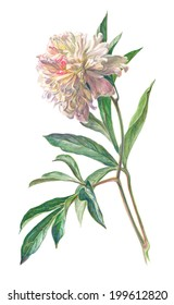 Watercolor on white: Ivory peony flower
