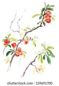Watercolor on white: Japanese quince blossoms