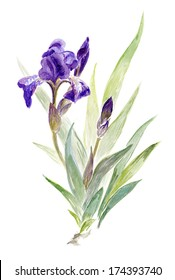 Watercolor on white: Little violet iris