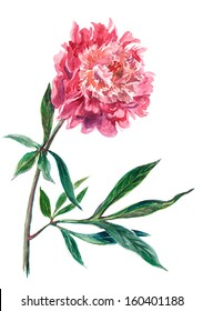 Watercolor on white: peony flower